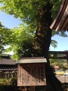 樹齢五百年
